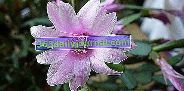 Velikonočni kaktus (Rhipsalidopsis gaertneri), drugačen od božičnega kaktusa