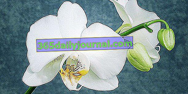 Orhideja Phalaenopsis ali metulja