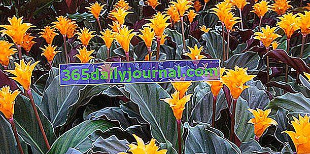 Šafrán calathea (Calathea crocata), páv rostlina