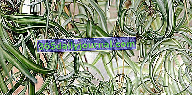 Фалангера (Chlorophytum comosum), растението паяк