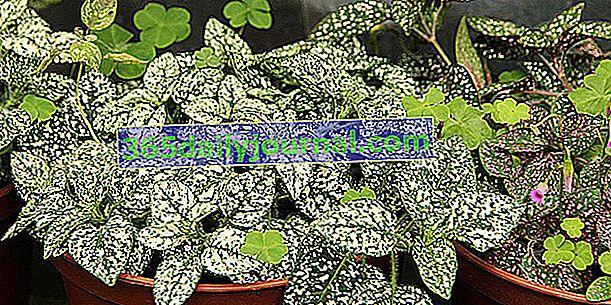 Ефелидно растение (Hypoestes phyllostachya), различно от Fittonia