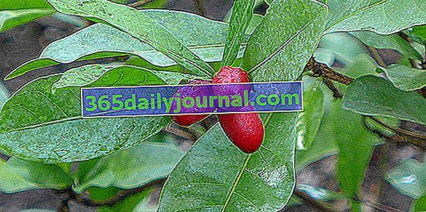 Fruta milagrosa (Synsepalum dulcificum), baya milagrosa
