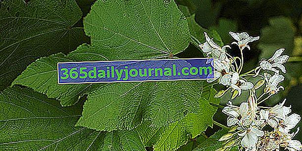 Apartmán vápno (Sparmannia africana), bratranec vápna