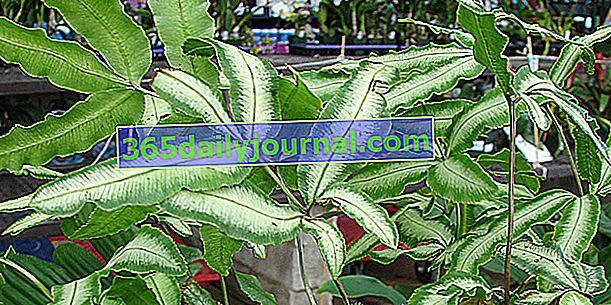 Krétsky Pteris (Pteris cretica), kúpeľná rastlina