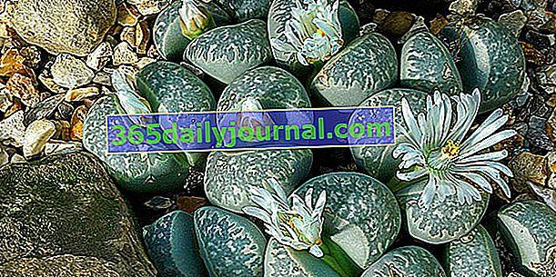 Pebble plant (Lithops sp.), Soczysty, imitujący swoje otoczenie