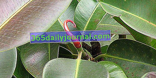 Guma (Ficus elastica), popularna roślina doniczkowa