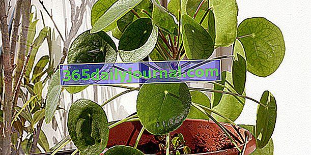 Chińska roślina walutowa (Pilea peperomioides) to soczysty trend