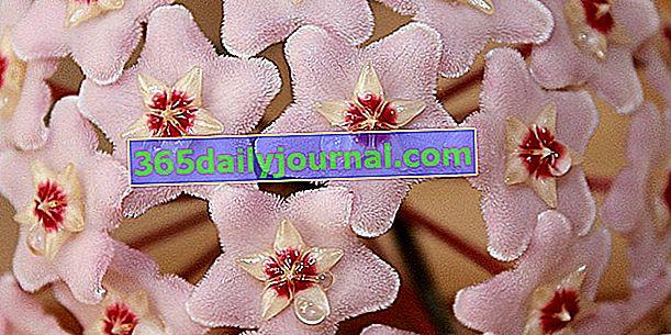 Flor de porcelana (Hoya) o flor de cera