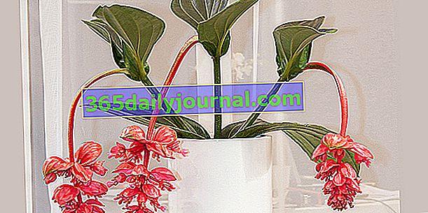 Wspaniała Medinilla (Medinilla magnifica), delikatna w wzroście