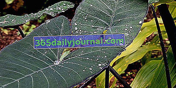 Purple Taro (Xanthosoma violaceum) lub Karaibska Kapusta