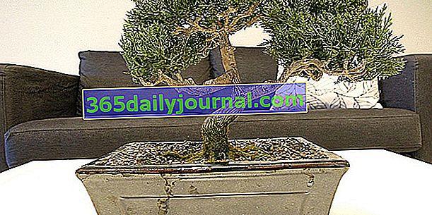 Bir bonsai nasıl seçilir?