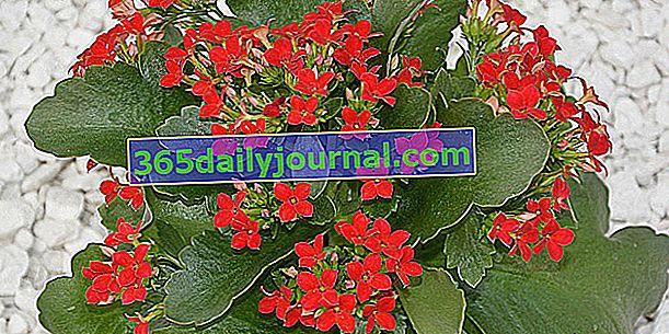Kalanchoe (Kalanchoe blossfeldania) sa šarenim cvjetovima