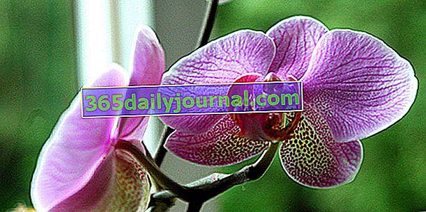 Orquídeas, flores exóticas en nuestros interiores