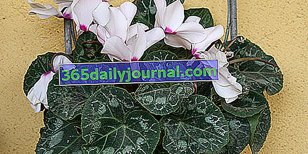 Ciclamen persa o floristas '(Cyclamen persicum)