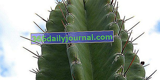 Kaktus sveč (Cereus), stolpčasti kaktusi ali kandelabri