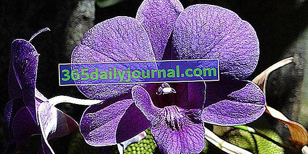 Dendrobium nobile, bambusowa orchidea