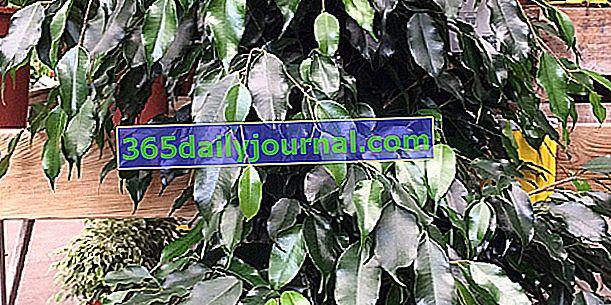 Ficus (Ficus) mnoho pokojových rostlin