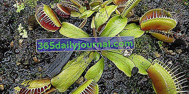 Venus papamoscas (Dionaea muscipula), planta carnívora