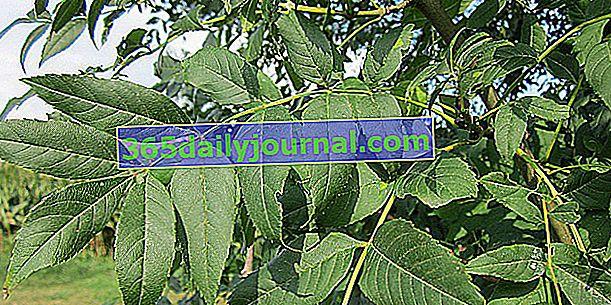Ortak kül (Fraxinus excelsior), müzik aletleri odunu