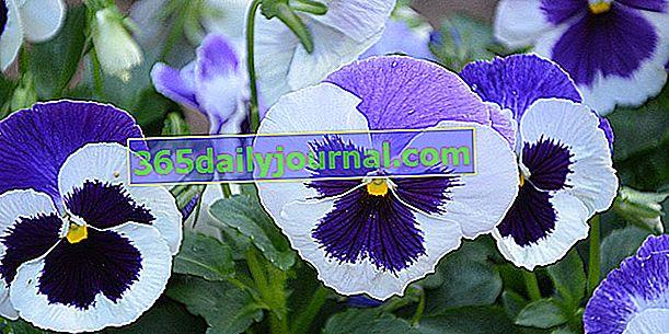 Her mevsim çiçek açan hercai menekşe (Viola)