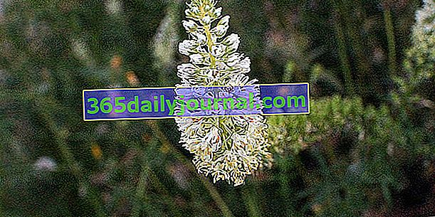 Reseda olorosa (Reseda odorata) o mignonette