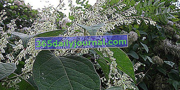 Japon knotweed (Fallopia japonica), biyolojik çeşitlilik için zararlı istilacı bitki