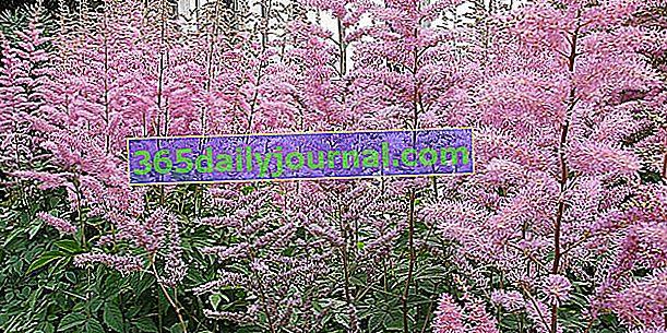 Astilba (Astilbe), pernati cvjetovi za zasjenjeno područje