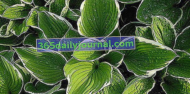 Hosta (Hosta), roślina cieniująca o ładnych liściach