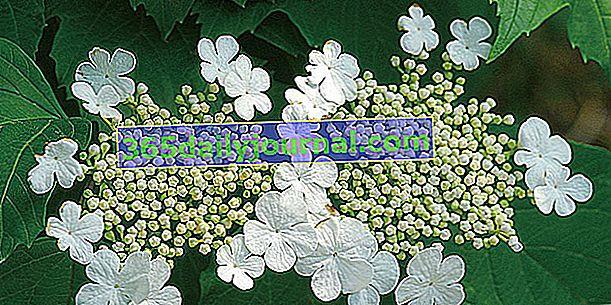Snowball lub Kalina Obier (Viburnum opulus), kulki kwiatowe
