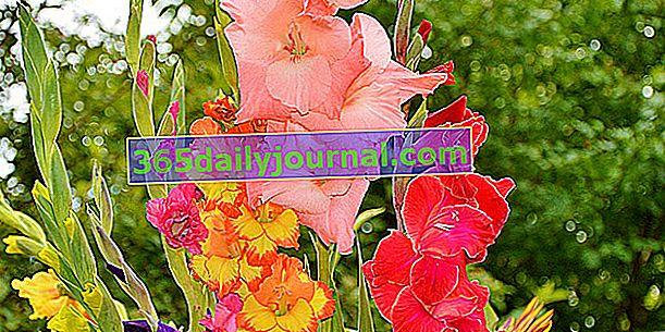 Gladioli (Gladiolus), visoke, uske cvjetne stapke