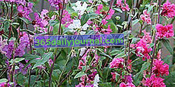 Clarkia (Clarkia elegans), yeni başlayan bahçıvanların çiçeği