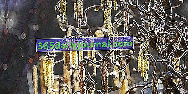 Avellano tortuoso (Corylus avellana Contorta), decorativo