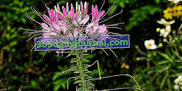 Cleome (Cleome spinosa), la flor de araña