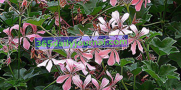 Geranio (Pelargonium spp.), Rey de balcones y terrazas en verano