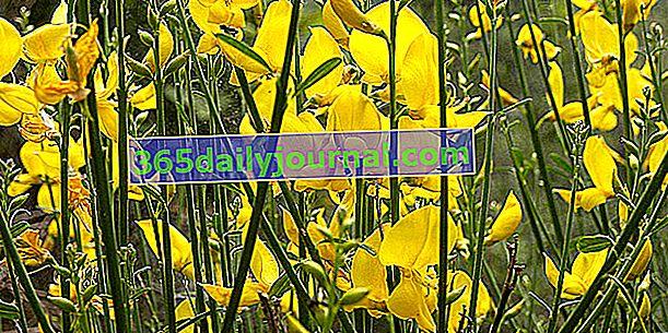Escoba española (Spartium junceum), diferente de la escoba escocesa