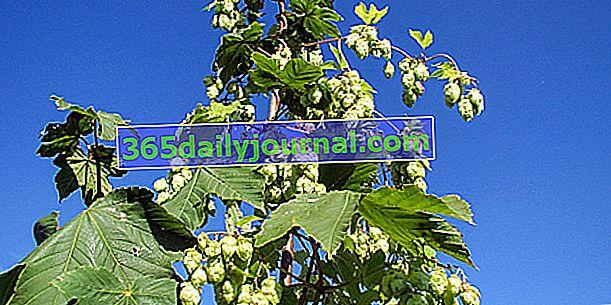 Chmiel (Humulus lupulus), pochodzenie piwa