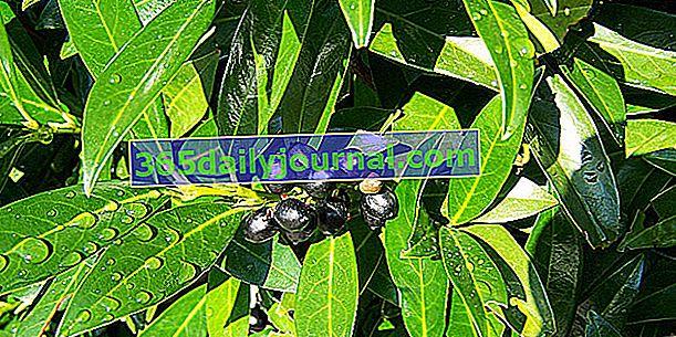 Palmova lovorika (Prunus laurocerasus) ali češnjeva lovorika