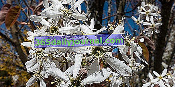 Amelanchier canadensis, el árbol de colores extravagantes