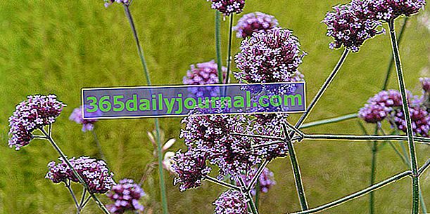 Verbena de Buenos Aires (Verbena bonariensis), útil para la biodiversidad