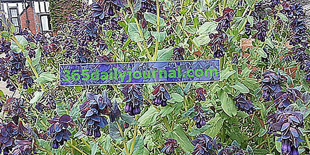 Серинт (Cerinthe major purpurascens) или мелинет