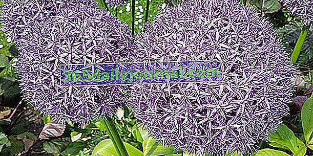 Декоративен чесън (Allium spp.), Лилави цветя на топки