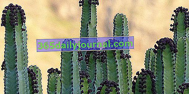 Euphorbia (Euphorbia), velká a velmi rozmanitá rodina