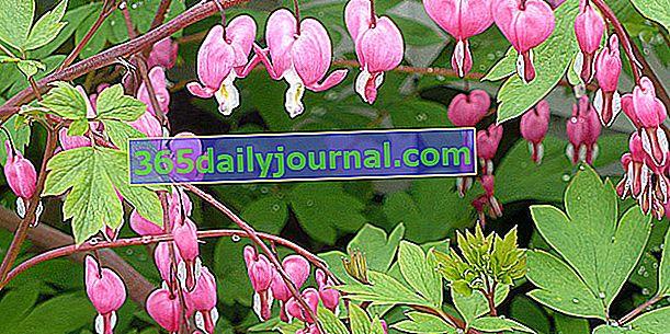 Сердце Марии (Dicentra spectabilis), цветы в сердце