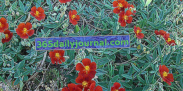Helianthemum (Helianthemum), flor del jardín de rocas