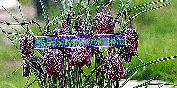Фритилари на токачки (Fritillaria meleagris) или яйцевидни фритилари