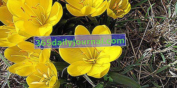 Есенно цъфтящ жълт минзухар (Sternbergia lutea)