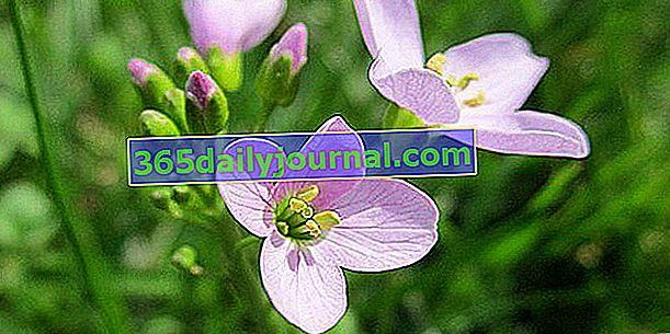 Кардамин лугов (Cardamine) или кресс-салат