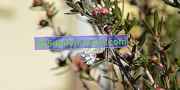 Мирта от Нова Зеландия (Leptospermum scoparium), чаено дърво или манука
