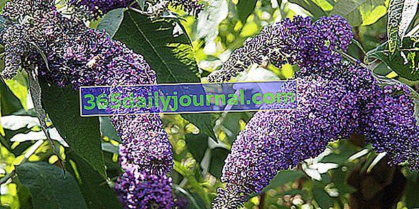 Дърво на пеперуда (Buddleia spp.), Инвазивен храст