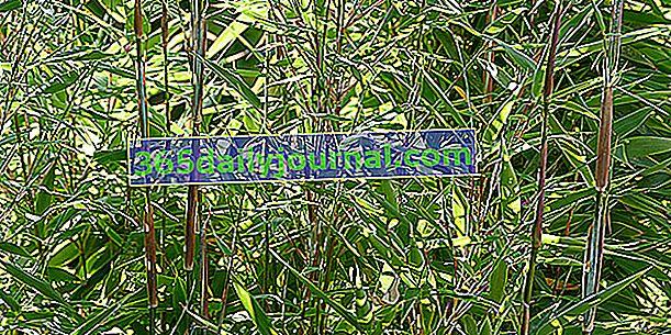 Bambus (Phyllostachys), egzotyczny dotyk ogrodu
